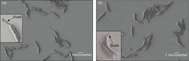 Scanning electron microscope images show C. crescentus cells grown (a) without and (b) with uranium exposure.