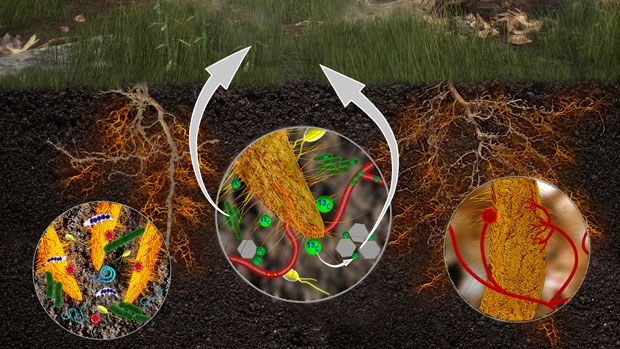 (left) Soil decomposition processes are shaped by interactions between plant roots, microorganisms, and soil minerals. (middle) Carbon (13C) fixed during plant photosynthesis is released during the breakdown of leaves and roots, then consumed by bacteria and fungi, with a portion becoming bound to soil minerals. (right) Fungi (red threads) are shown in association with a plant root. With stable isotope tracers and high-resolution imaging, Livermore researchers can quantify and track decomposition processes. (Rendering by Adam Connell.)