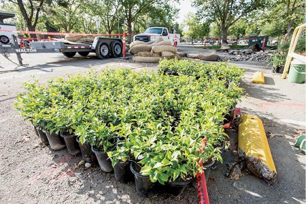 Livermore is planting water-wise shrubs to reduce the amount of water required for landscaping. (Photograph by Paul Hara.)