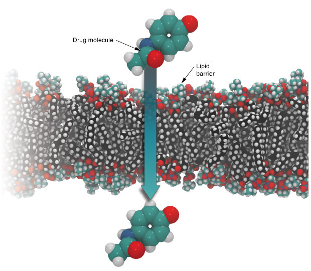 This simulation shows a drug compound crossing the lipid barrier between the bloodstream and the brain. Predicting such behavior could help drug researchers better gauge drug efficacy and catch potentially serious side effects at an early stage of drug development.