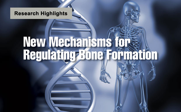 Article title: New Mechanisms for Regulating Bone Formation
